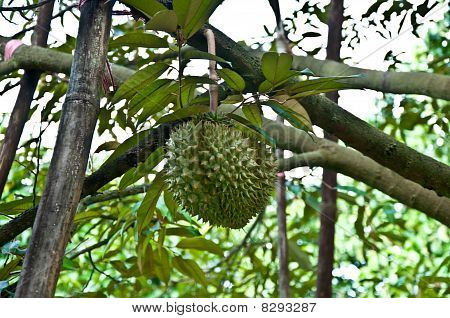 Durian is King Of Fruit