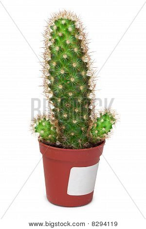 Cactus como un pene sobre fondo blanco