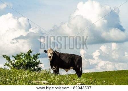 Cow On A Hillside