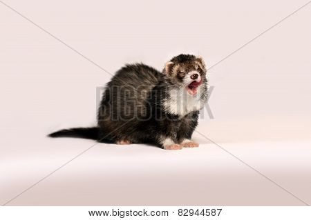 Beautiful furry ferret gently licked on a pink background.