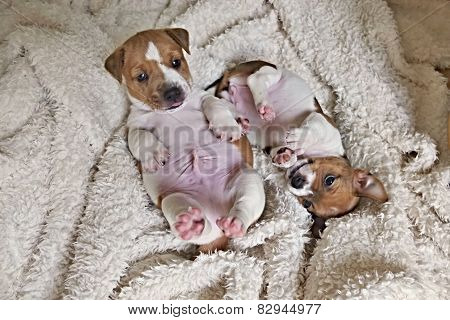 Two Jack Russell Puppies