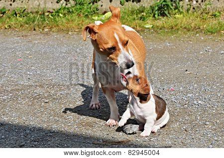 Puppie Jack Russell Terrier