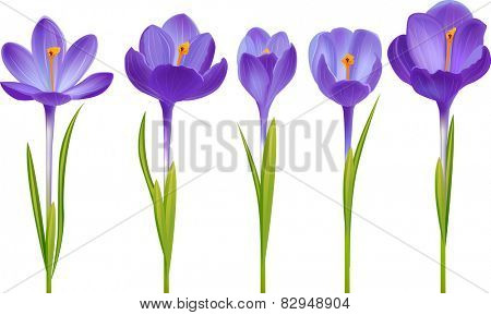 Five different realistic crocuses isolated on white