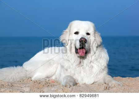 Cute white dog on the beach. Polish Tatra Sheepdog, known also as Podhalan or Owczarek Podhalanski