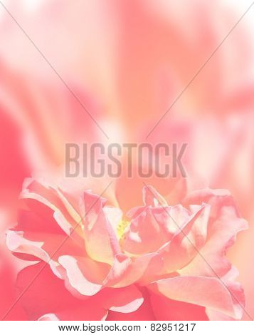 Softness rose on pink background