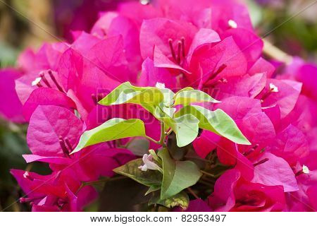 Pink Bougainvillea On Tree