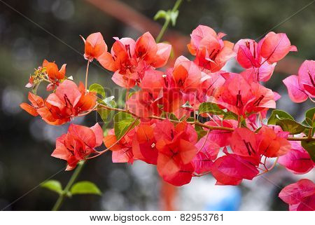 Orang  Bougainvillea In Nature