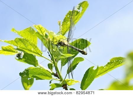 Ophiogomphus Cecilia. Dragonfly On The Green Leaves And Sky Background