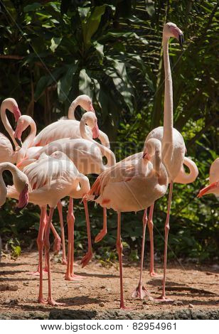 Group Of Pink Flamingos.