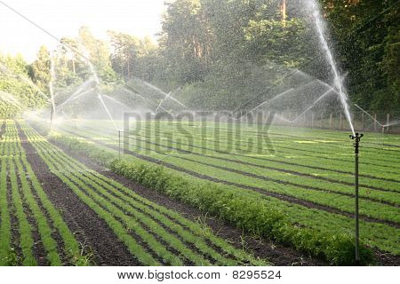 Nursery plantation being watered