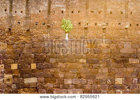 Powerful Ficus religiosa or sacred fig tree / sapling growing through the walls of a temple boundary