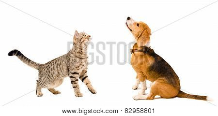 Curious beagle dog  and  cat Scottish Straight together