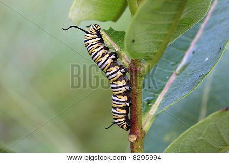 Caterpillar Monarch Butterfly