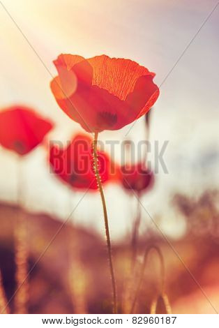 Closeup grunge style photo of a beautiful gentle poppies field, gorgeous red wild flowers in mild sunset light, fine art, beauty of spring nature