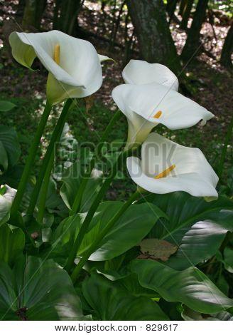 Cala Liliy Flowers