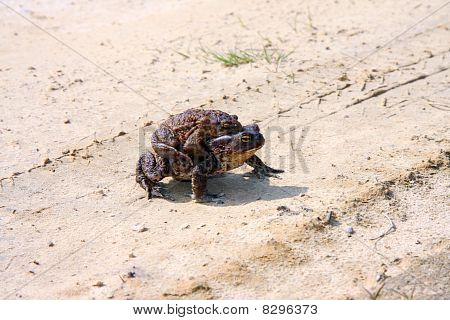 Two brown frogs (rana temporaria) in the mating season