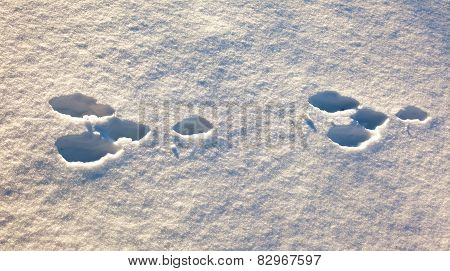 Hare Trace In The White Snow