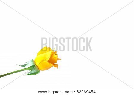 Yellow Rose For Valentine's Day ( On White Background).