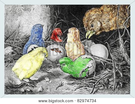 The hatching of the small chicks. The surprise of the mother in front of her small colored chicks.
