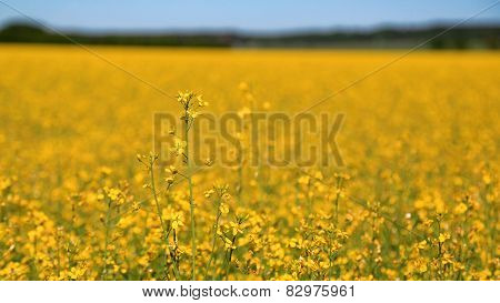 Yellow Rapeseed Field With Rapeseed Flower