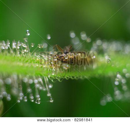 Sundew consume bedbug