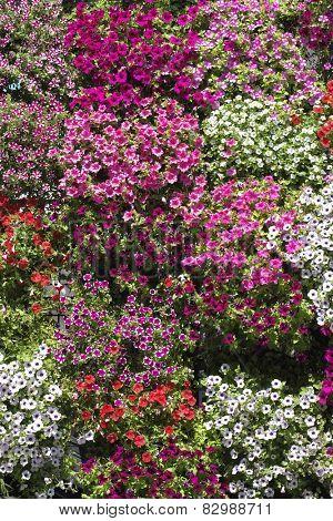 colorful flowering background in Skadarlija, Belgrade