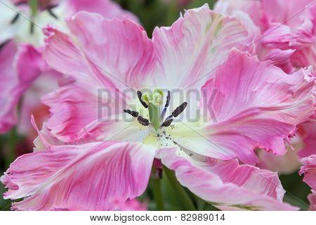 Pink Tulip in close up. Keukenhof. Netherlands.