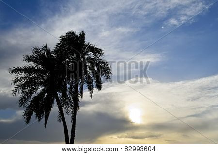 Date Palm in the sunset