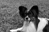Black and White Photo of a Purebred Papillon Dog poster