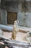 pic of meerkats  - meerkat is standing on wood take this photo in zoo - JPG