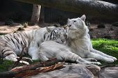 stock photo of white-tiger  - Two white tigers in a habitat sleeping together - JPG