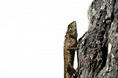 picture of creeping  - Bearded dragon  lizard creeping  on wood with white background - JPG