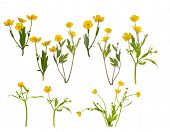 picture of buttercup  - set of yellow buttercup flowers isolated on white background - JPG