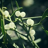 picture of mistletoe  - Close up Photo of Mistletoe in Winter Time - JPG