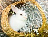 stock photo of tawdry  - Little white rabbit in basket against spangle on green - JPG