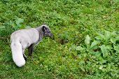 picture of arctic fox  - Arctic fox in summer on a green meadow - JPG
