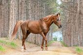 pic of horse-breeding  - Beautiful red horse Arabian breed walking on the road in the forest on the background of large pines - JPG