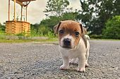 stock photo of puppy dog face  - Puppy of Jack Russell Terrier is playing in garden - JPG