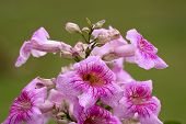 picture of trumpet flower  - large flower cluster of Pandorea Ricasoliana  - JPG