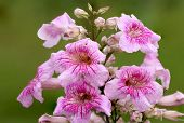 stock photo of trumpet flower  - large flower cluster of Pandorea Ricasoliana  - JPG