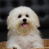 foto of dog breed shih-tzu  - Shih tzu puppy breed tiny dog age 6 month playfulness loveliness - JPG