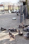 stock photo of poultry  - ducks and gooses in village poultry - JPG