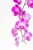 stock photo of moth  - Purple Moth orchids close up over white background - JPG