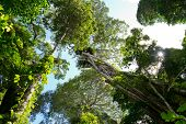 stock photo of strangled  - view from below of Australian rain forest - JPG