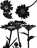 picture of marigold  - marigold flowers medicinal herb natural silhouette vector - JPG