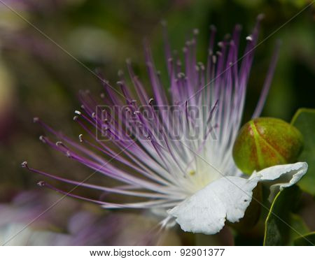 Caper bush blossoming with white and purple flower and small green berries