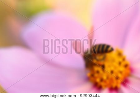 Cosmos flower with blurred background