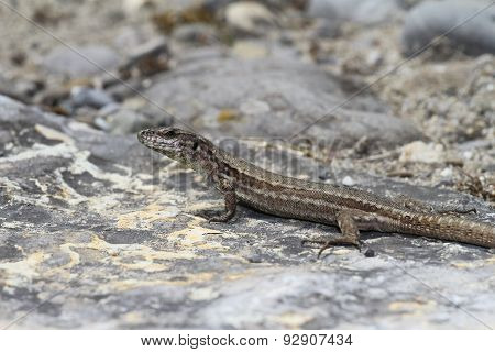 A common wall lizard.