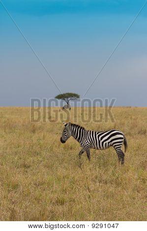 Zebra With Distant Acacia Tree In Masai Mara