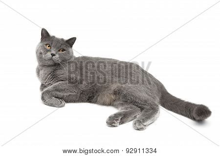 Gray Cat Breed Scottish Straight Lies On A White Background